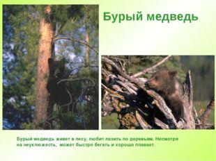 Бурый медведь Бурый медведь живет в лесу, любит лазить по деревьям. Несмотря
