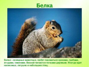 Белка Белки – всеядные животные, любят лакомиться орехами, грибами, ягодами,