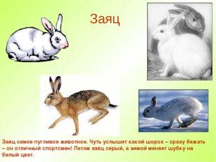 Заяц Заяц самое пугливое животное. Чуть услышит какой шорох – сразу бежать –