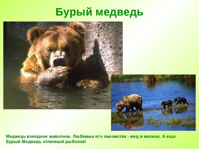 Бурый медведь Медведь всеядное животное. Любимые его лакомства - мед и малина...