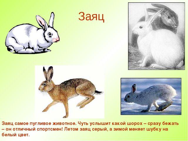 Заяц Заяц самое пугливое животное. Чуть услышит какой шорох – сразу бежать –...
