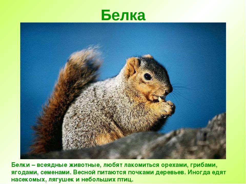 Белка Белки – всеядные животные, любят лакомиться орехами, грибами, ягодами,...