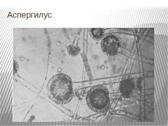 Аспергилус