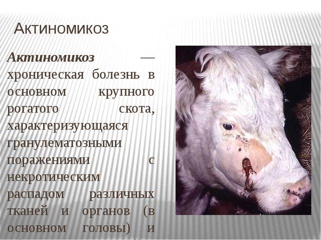 Актиномикоз Актиномикоз — хроническая болезнь в основном крупного рогатого ск...