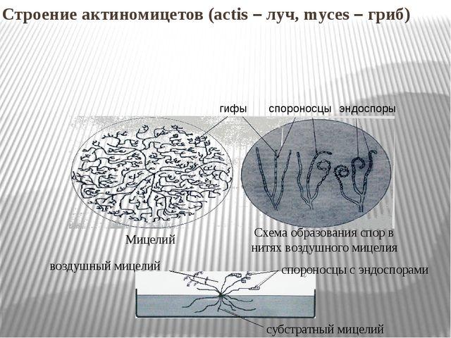 Строение актиномицетов (actis – луч, myces – гриб) гифы спороносцы эндоспоры...