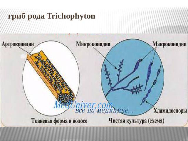 гриб рода Trichophyton