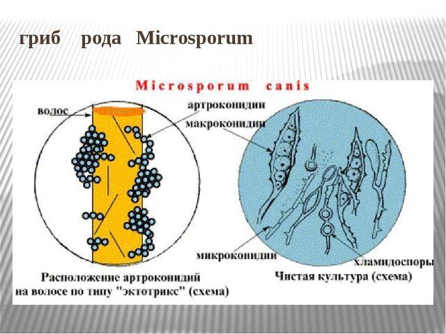 гриб рода Microsporum