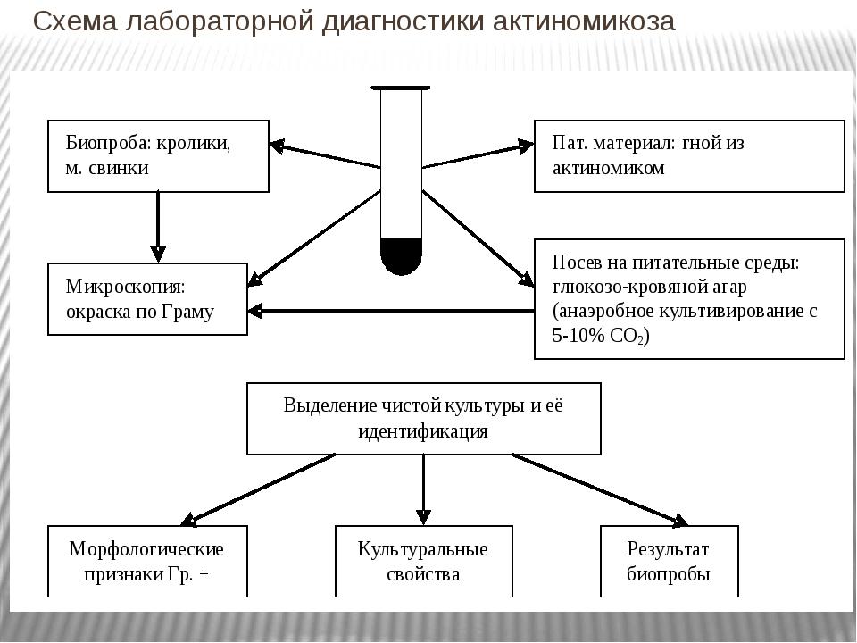 Схема лабораторной диагностики актиномикоза