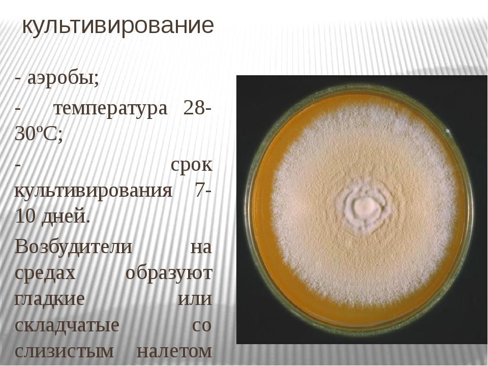 культивирование - аэробы; - температура 28-30ºС; - срок культивирования 7-10...