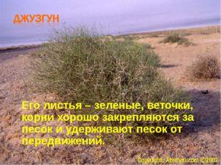Его листья – зеленые, веточки, корни хорошо закрепляются за песок и удерживаю