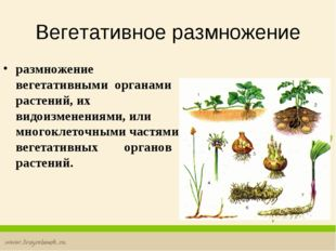 Вегетативное размножение размножение вегетативными органами растений, их