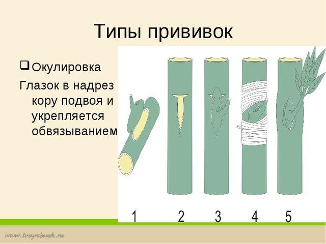 Типы прививок Окулировка Глазок в надрез под кору подвоя и укрепляется обвязы...