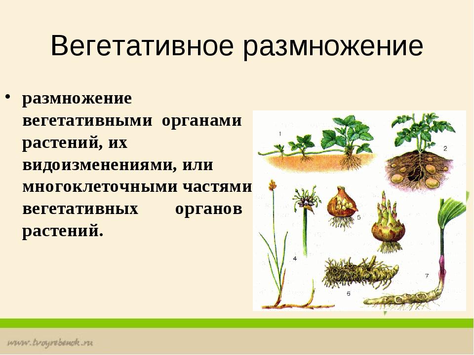 Вегетативное размножение размножение вегетативными органами растений, их...