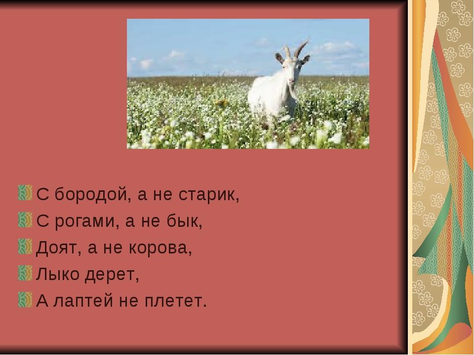 С бородой, а не старик, С рогами, а не бык, Доят, а не корова, Лыко дерет, А...
