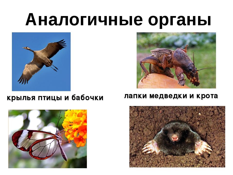 Аналогичные органы крылья птицы и бабочки лапки медведки и крота