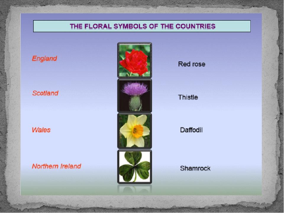 Чертополох – thistle, бледно-желтый нарцисс-daffodil, shamrock-трилистник, к...