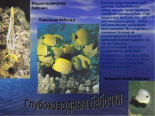 Близкие родственники рыб-ангелов. Рыбы-бабочки – самые мелкие представители