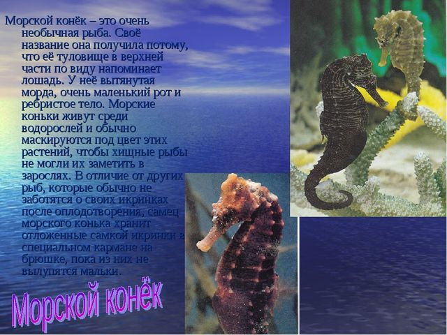 Морской конёк – это очень необычная рыба. Своё название она получила потому,...