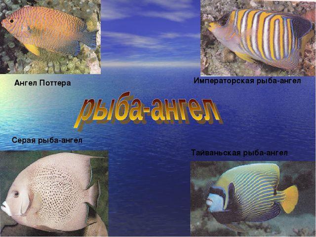 Серая рыба-ангел Ангел Поттера Императорская рыба-ангел Тайваньская рыба-ангел