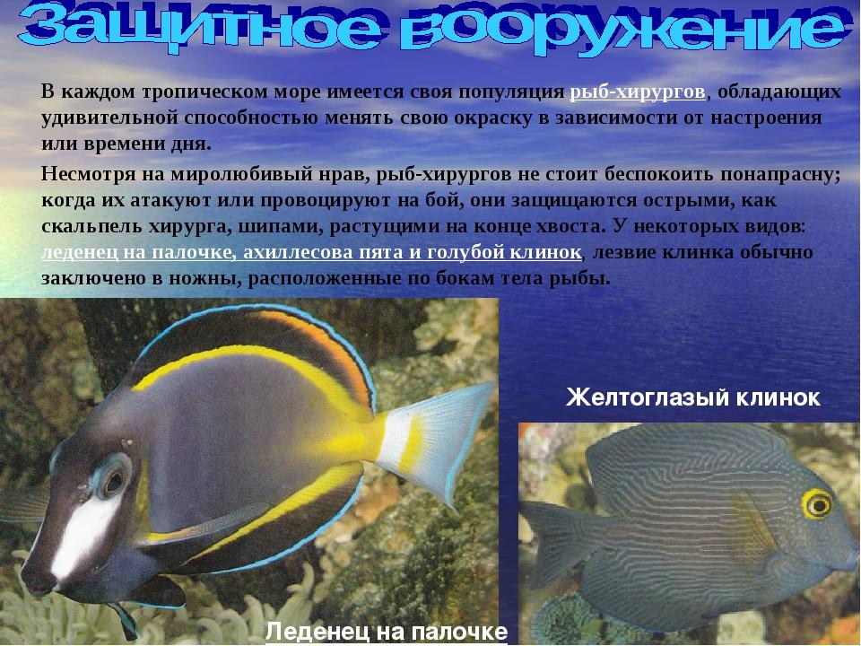 В каждом тропическом море имеется своя популяция рыб-хирургов, обладающих уд...