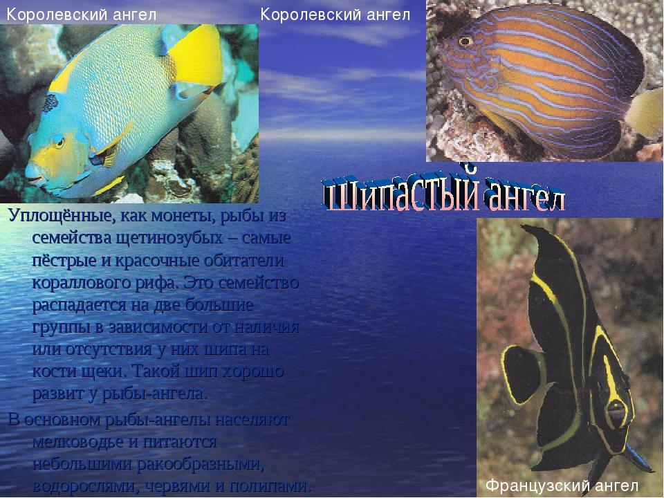 Уплощённые, как монеты, рыбы из семейства щетинозубых – самые пёстрые и красо...