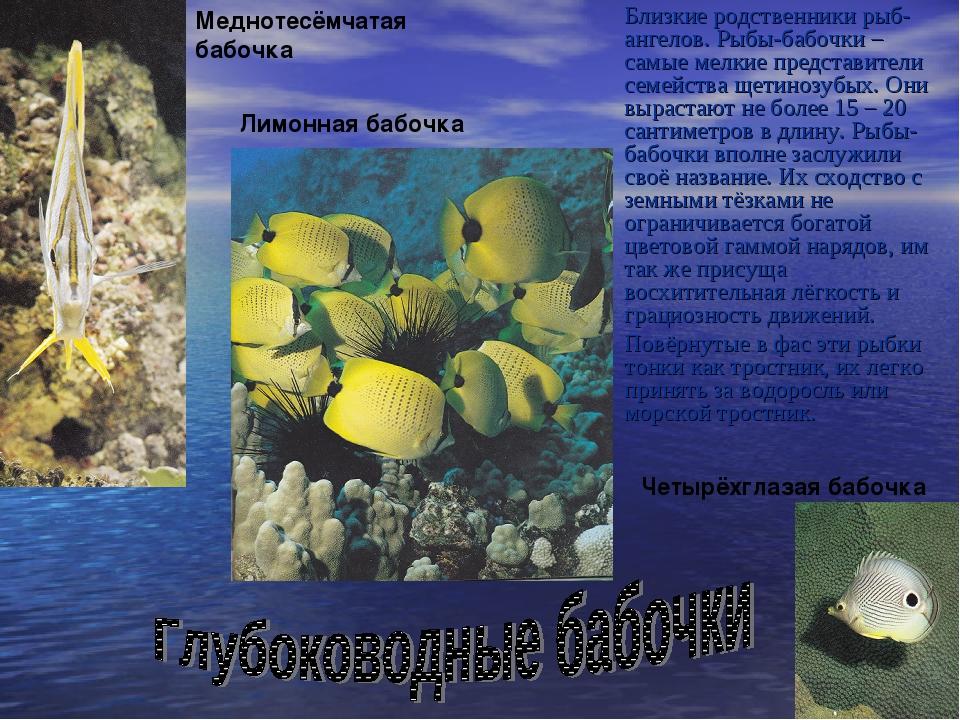 Близкие родственники рыб-ангелов. Рыбы-бабочки – самые мелкие представители...