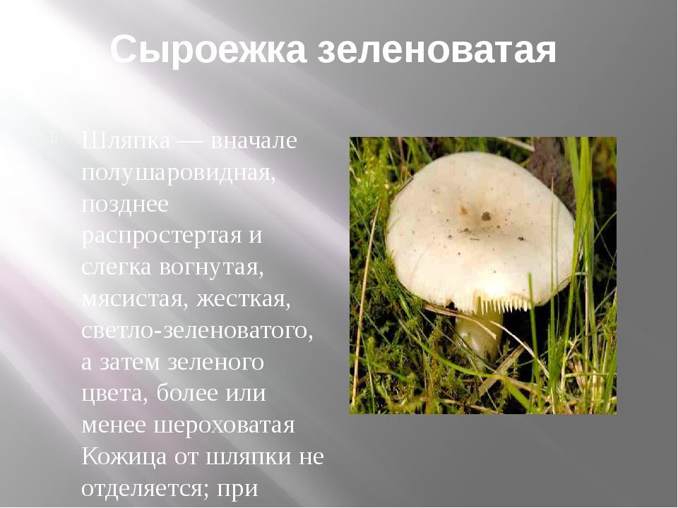 Сыроежка зеленоватая Шляпка — вначале полушаровидная, позднее распростертая и...