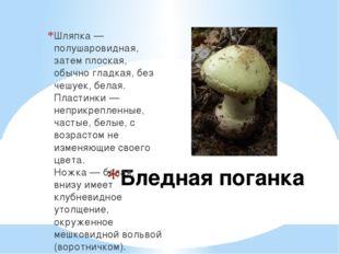 Бледная поганка Шляпка — полушаровидная, затем плоская, обычно гладкая, без ч