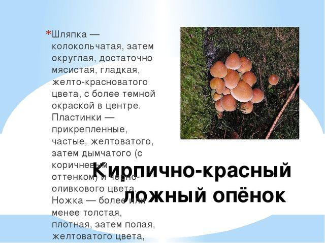 Кирпично-красный ложный опёнок Шляпка — колокольчатая, затем округлая, достат...