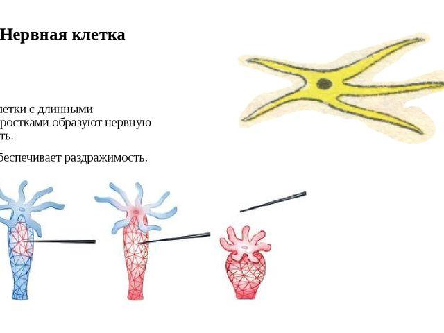 Нервная клетка Клетки с длинными отростками образуют нервную сеть. Обеспечива...