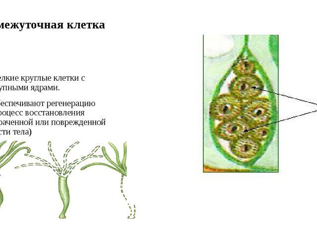 Промежуточная клетка Мелкие круглые клетки с крупными ядрами. Обеспечивают ре...