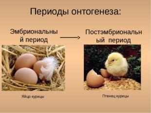 Периоды онтогенеза: Эмбриональный период Постэмбриональный период Яйцо курицы
