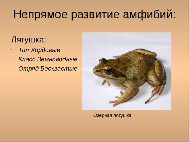 Непрямое развитие амфибий: Лягушка: Тип Хордовые Класс Земноводные Отряд Бесх...