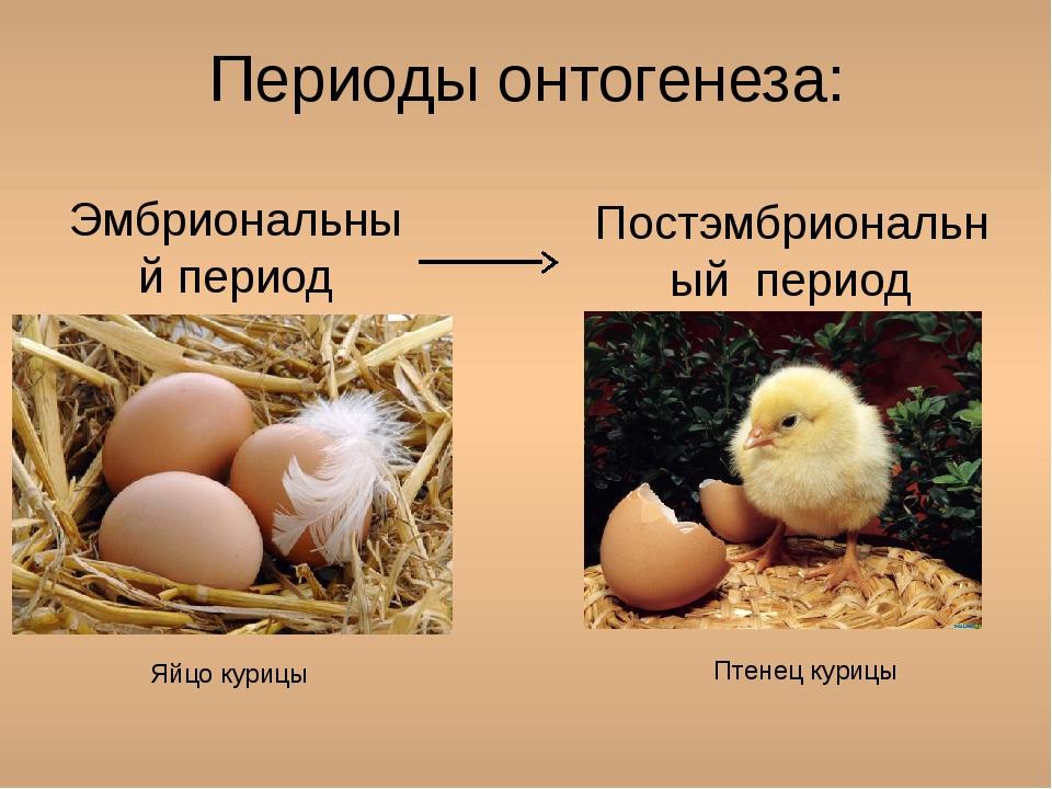 Периоды онтогенеза: Эмбриональный период Постэмбриональный период Яйцо курицы...