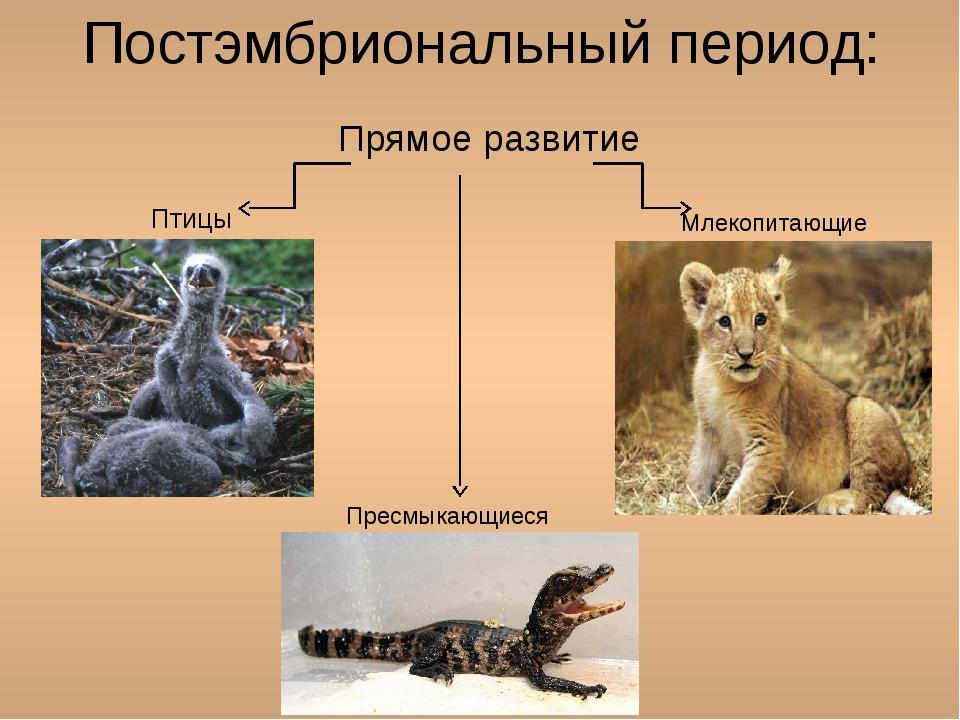 Постэмбриональный период: Прямое развитие Птицы Млекопитающие Пресмыкающиеся