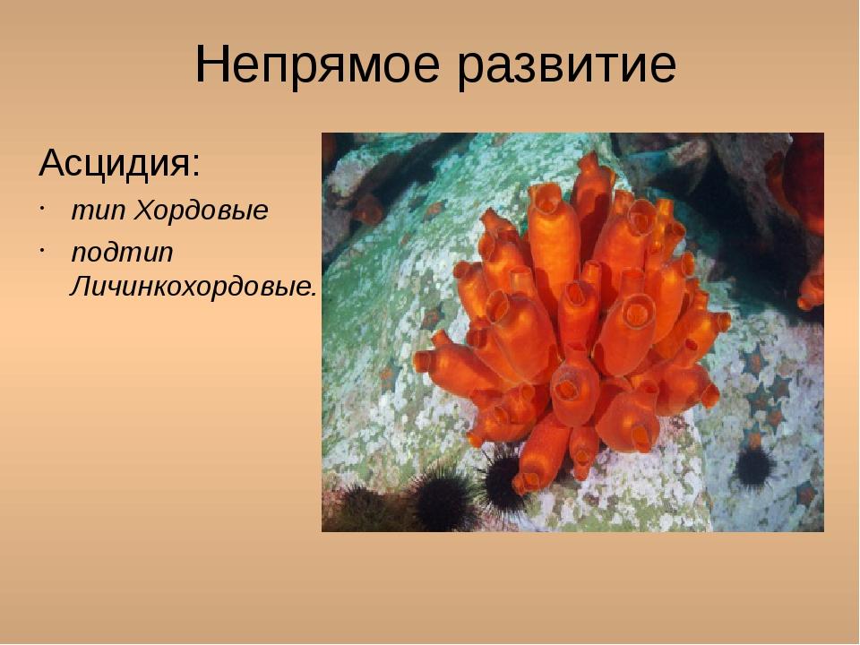 Непрямое развитие Асцидия: тип Хордовые подтип Личинкохордовые.