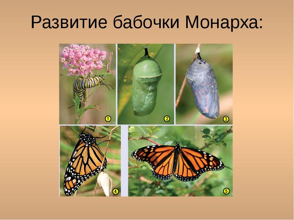 Развитие бабочки Монарха: