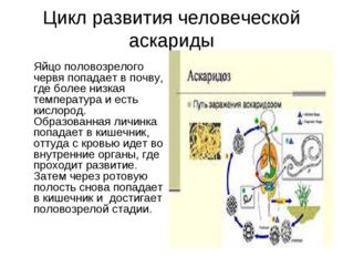 Цикл развития человеческой аскариды Яйцо половозрелого червя попадает в почв
