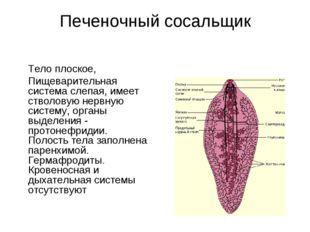 Печеночный сосальщик  Тело плоское, Пищеварительная система слепая, имеет