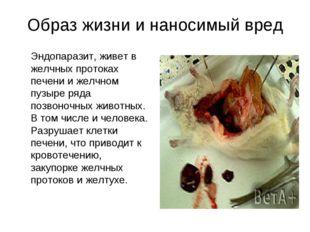 Образ жизни и наносимый вред Эндопаразит, живет в желчных протоках печени и