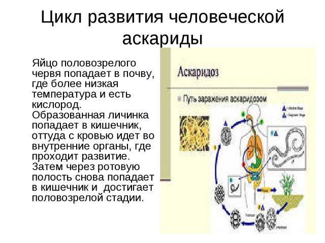 Цикл развития человеческой аскариды Яйцо половозрелого червя попадает в почв...