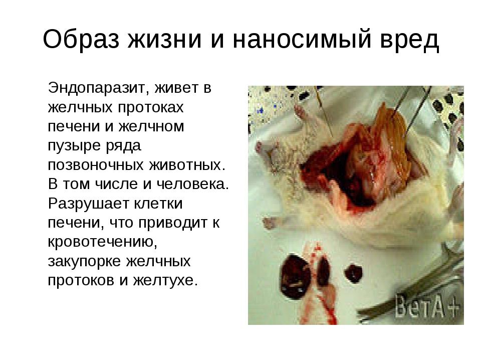 Образ жизни и наносимый вред Эндопаразит, живет в желчных протоках печени и...