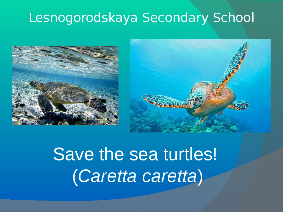 Save the sea turtles! (Caretta caretta) Lesnogorodskaya Secondary School