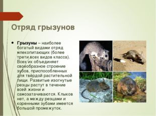Отряд грызунов Грызуны – наиболее богатый видами отряд млекопитающих (более т