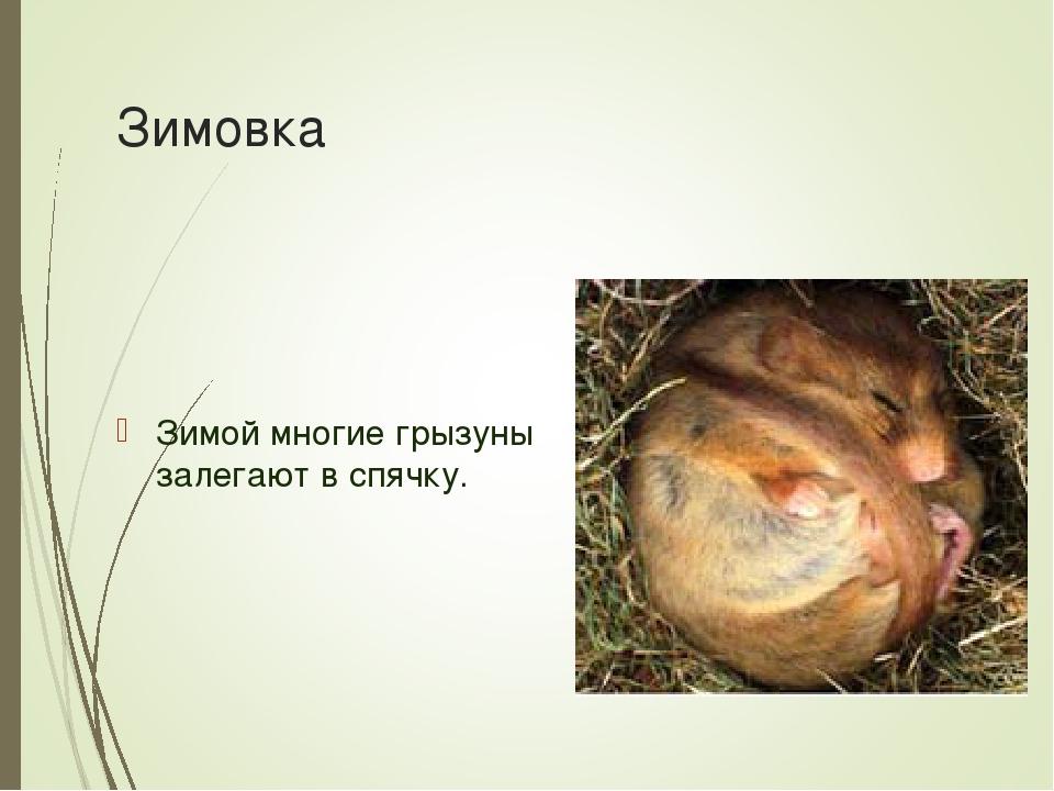 Зимовка Зимой многие грызуны залегают в спячку.
