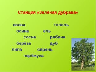 Станция «Зелёная дубрава» сосна тополь осина ель сосна рябина берёза дуб лип