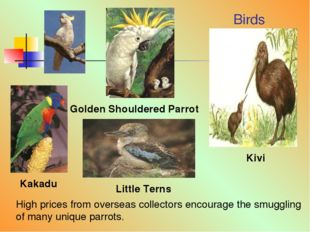Birds Kakadu Golden Shouldered Parrot Little Terns Kivi High prices from over