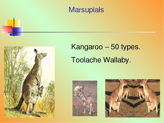 Marsupials Kangaroo – 50 types. Toolache Wallaby.
