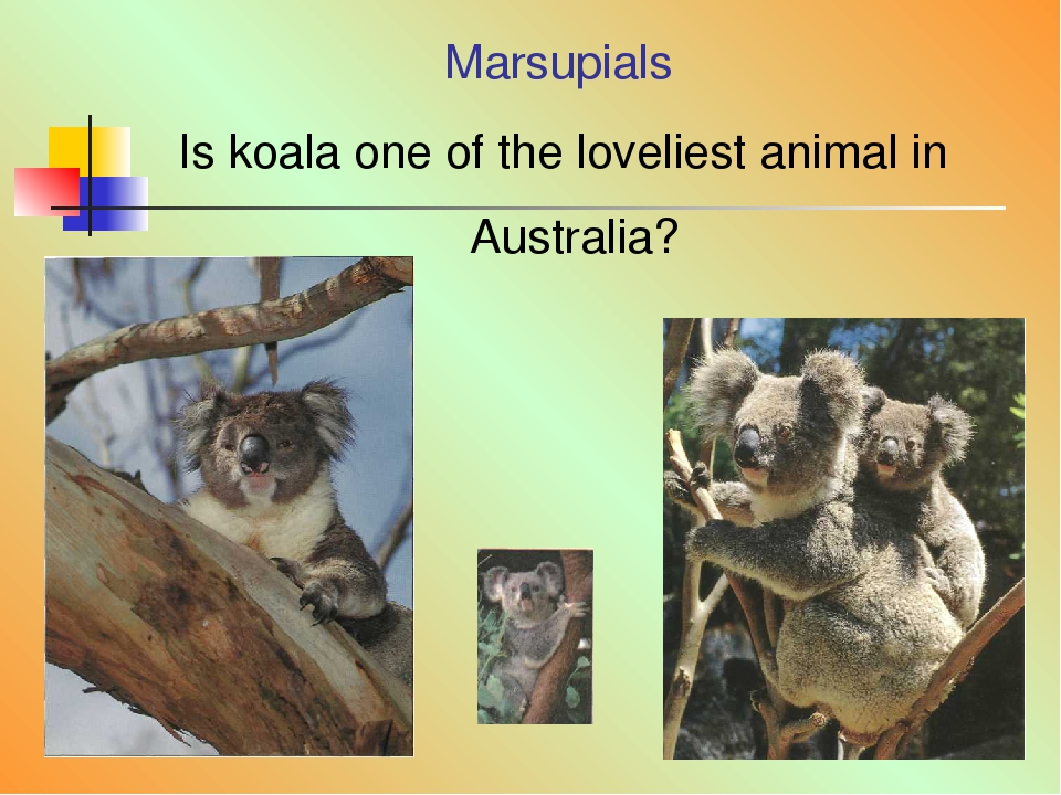 Marsupials Is koala one of the loveliest animal in Australia?