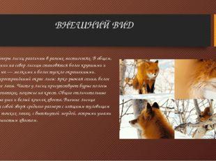 ВНЕШНИЙ ВИД Окраска и размеры лисиц различны в разных местностях. В общем, пр